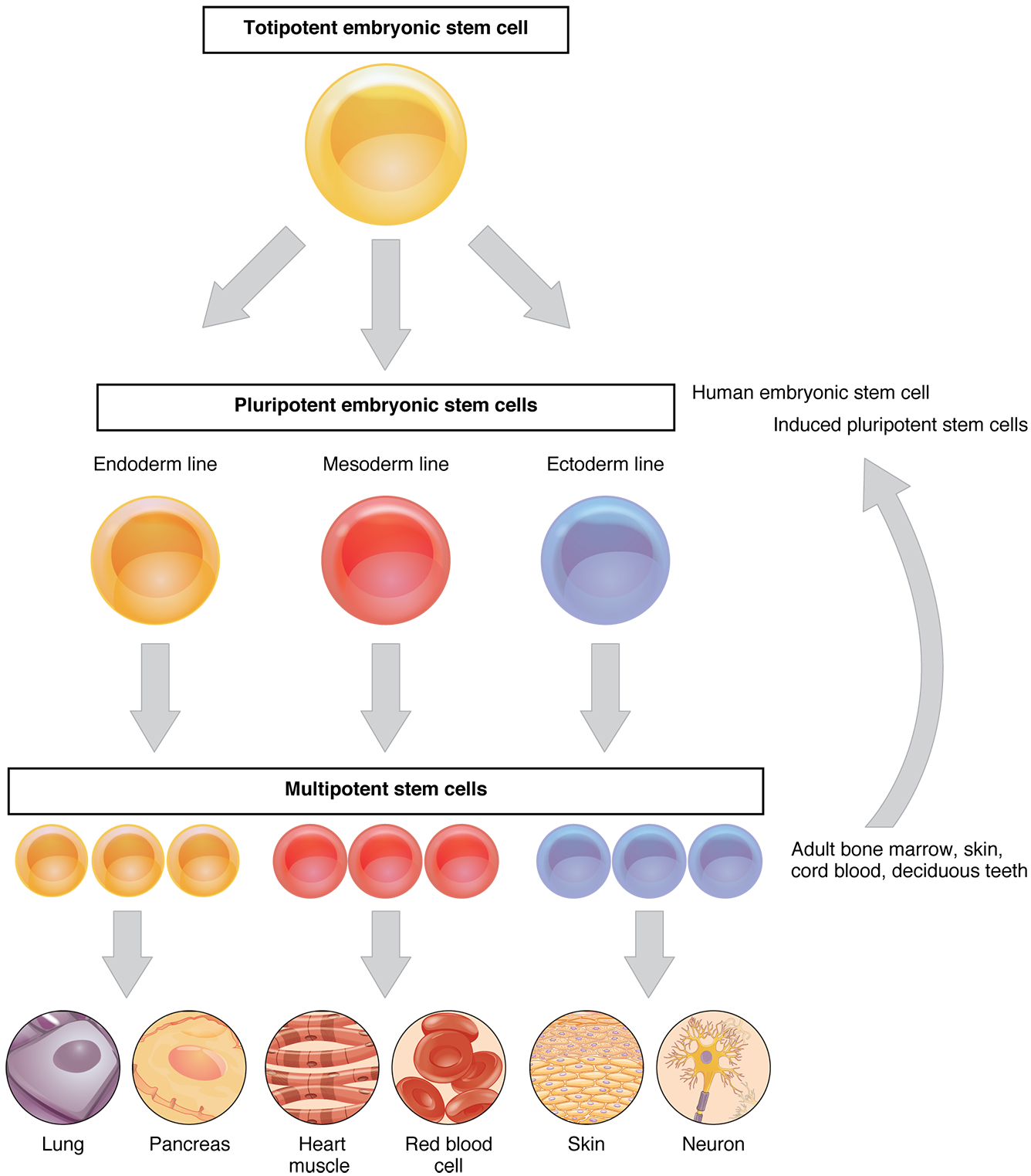 application of embryonic stem cells